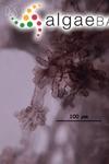 Polysiphonia homoia Setchell & N.L.Gardner