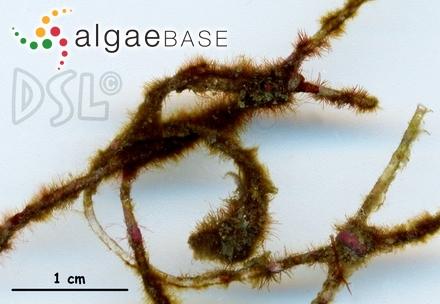 Sphacelaria hordeacea Harvey