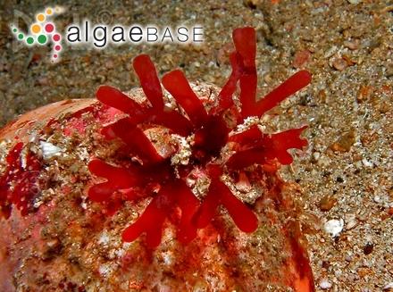 Ethelia fissurata (P.Crouan & H.Crouan) Denizot