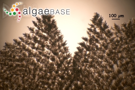 Solenia percursa (C.Agardh) C.Agardh