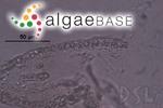 Sebdenia flabellata (J.Agardh) P.G.Parkinson