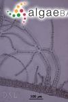 Stylonema alsidii (Zanardini) K.M.Drew