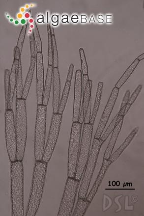 Wrangelia bicuspidata Børgesen