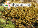 Sargassum echinocarpum J.Agardh