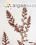 Tolypiocladia glomerulata (C.Agardh) F.Schmitz