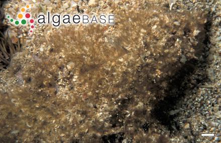 Polysiphonia unguiformis Børgesen