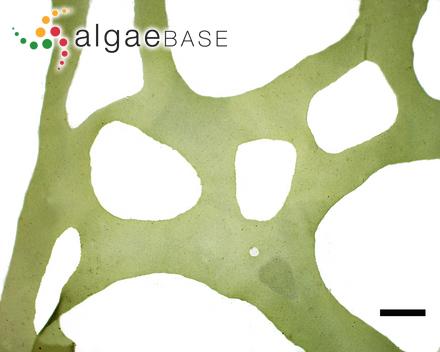 Rytiphlaea corymbosa Kützing