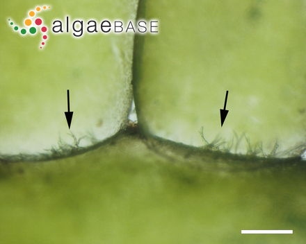 Polysiphonia javanica G.Martens