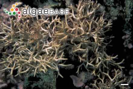 Fuscaria preissii (Sonder) Kuntze