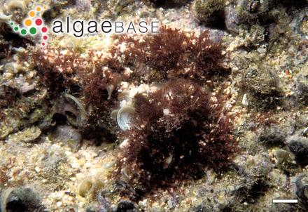 Porphyra kanakaensis T.F.Mumford