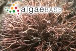 Liagora donaldiana I.A.Abbott & Huisman