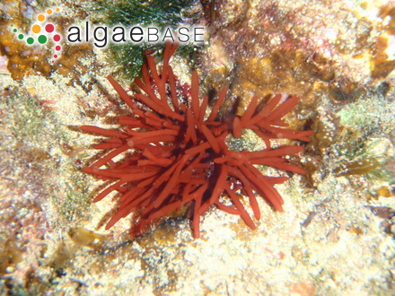 Ascophyllum nodosum var. siliquatum (Turner) Batters