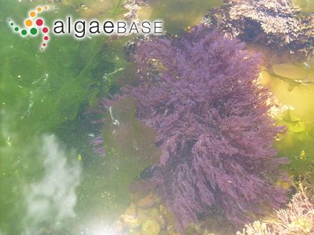 Gelidium aculeatum var. abnorme (Greville) Batters