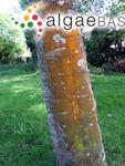 Trentepohlia abietina (Flotow ex Kützing) Hansgirg