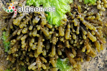 Thysanocladia densa (Sonder) Kraft