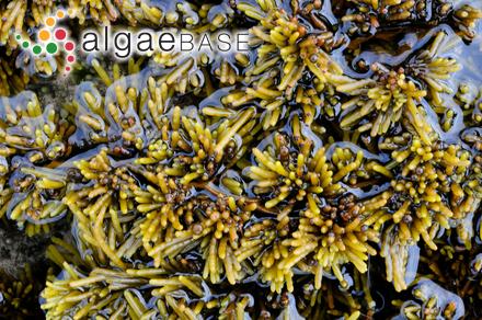 Lenormandia dorsifera (C.Agardh) Montagne