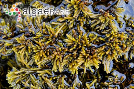 Thysanocladia dorsifera (C.Agardh) Harvey