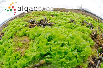 Thamnophora corallorhiza (Turner) C.Agardh
