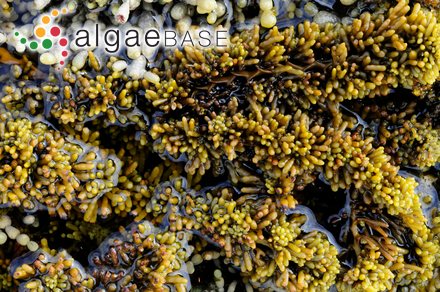 Nereidea preissiana (Sonder) Kuntze