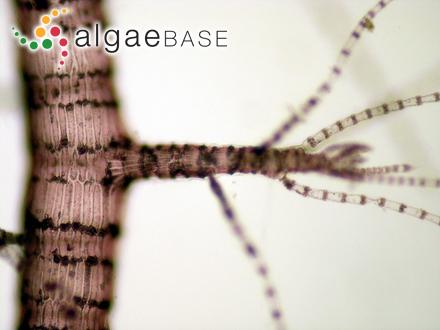 Hutchinsia furcellata C.Agardh