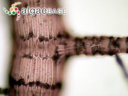 Polysiphonia havanensis f. insidiosa J.Agardh