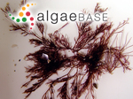 Polysiphonia collabens (C.Agardh) Kützing