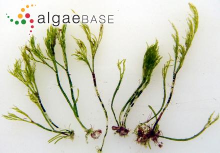 Cladophora patentiramea (Montagne) Kützing
