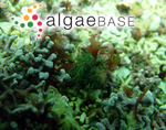 Lychaete rhodolithicola (Leliaert) M.J.Wynne