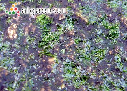 Galaxaura veprecula Kjellman