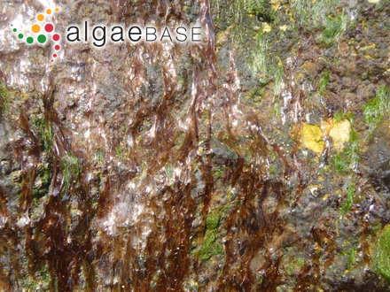 Pseudolithophyllum yendoi (Foslie) W.H.Adey