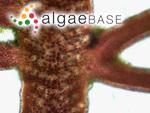 Pterocladiella melanoidea (Schousboe ex Bornet) Santelices & Hommersand