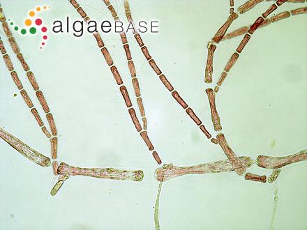 Pseudodichotomosiphon constricta var. minor C.K.Tseng