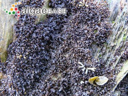 Spatoglossum dichotomum C.K.Tseng & Lu Baoren