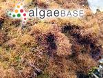 Gigartina ustulata (Mertens ex Turner) Greville
