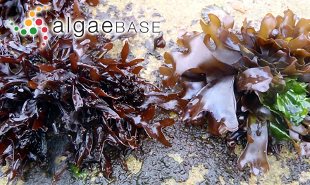 Sargassum vachellianum Greville
