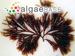 Scinaia furcellata (Turner) J.Agardh
