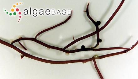 Cladophoropsis coriacea Yendo