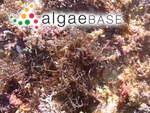 Hypnea musciformis (Wulfen) J.V.Lamouroux