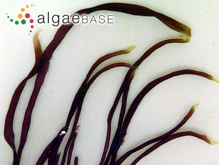 Bryopsis ambigua (Okamura) Okamura