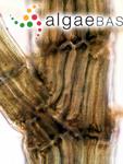 Leptosiphonia schousboei (Thuret) Kylin