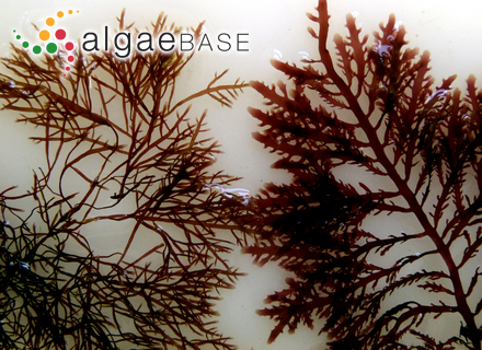 Phyllophora crenulata J.Agardh