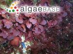 Kallymenia microphylla J.Agardh