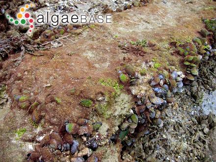 Amphiroa pacifica Kützing