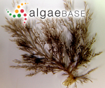 Melanothamnus harveyi (Bailey) Díaz-Tapia & Maggs