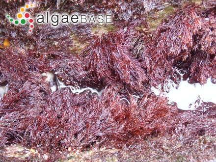 Cladophora bertolonii Kützing