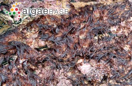 Sphacelaria scoparia (Linnaeus) Lyngbye