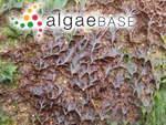 Hutchinsia tenella C.Agardh
