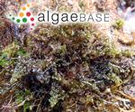 Osmundea hybrida (A.P.de Candolle) K.W.Nam