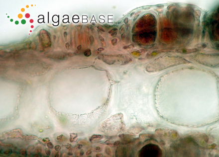 Fucodium compressum J.Agardh