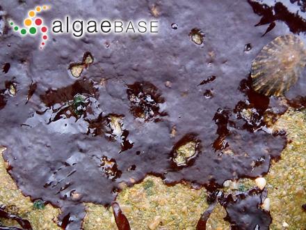 Microdictyon schmitzii Miliarakis